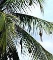 Nests on coconut tree.jpg