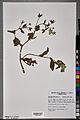 Neuchâtel Herbarium - Borago officinalis - NEU000100900.jpg