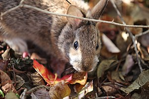 New England Cottontail (15675621152).jpg