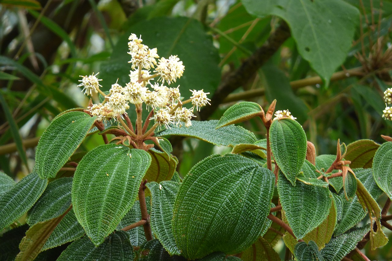 List of Miconia species - Wikiwand