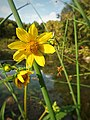 Nodding bur marigolds (29496574846).jpg