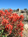 Northwesten Indian paintbrush (Catilleja angustifolia); Desert Queen Mine - 12525843903.jpg
