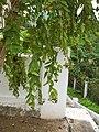 Nyctanthes arbor-tristis Laos 3.jpg