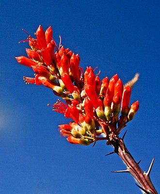 Fouquieria splendens - Image: Ocotillo Flower