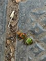 Oecophylla smaragdina (common namesinclude weaver ant, green ant, green tree ant, and orange gaster)Queen .jpg