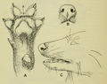 On the feet of the canidae and ursidae (1914) fig. 2.png