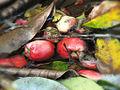 Onionwood Fruit in a Stream (5189147314).jpg