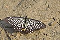 Open wing posture busking of Papilio epycides Hewitson, 1862 – Lesser Mime.jpg