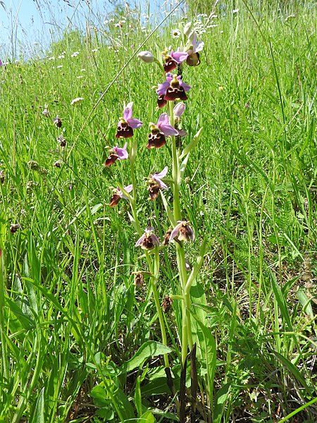 File:Ophrys holoserica 48.jpg