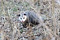 Opossum at Port Lousia National Wildlife Refuge in Iowa (32104343525).jpg