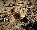 Orange Underwing Archiearis parthenias (47420925032).jpg