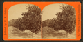 Orange grove, from Robert N. Dennis collection of stereoscopic views.png