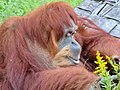 Orangutan in Higashiyama Zoo - 3.jpg