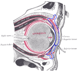 Orbital septum - The right eye in sagittal section, with structures of the orbital septum within blue markings.