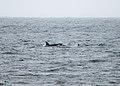 Orcas near the Bering Land Bridge Visitor Centre (9511686779).jpg