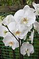 Orchideje v Troji, Cattleya hybrida, 09.jpg
