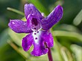 Orchis anatolica, Crete 07(js).jpg