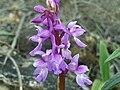 Orchis langei FlowersCloseup2 2009-4-09 DehesaBoyalPuertollano.jpg