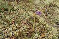Orobanche uniflora (1).jpg