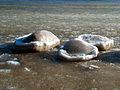 Osłonino. Zima nad Zatoką Pucką.jpg