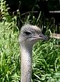 Ostrich July 2019-1.jpg
