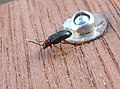 Oulema melanopus.^Chrysomelidae - Flickr - gailhampshire.jpg