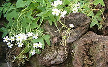 Oxalis latifolia LeavesFlowers BotGardBln0906.jpg