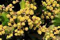 Pájara La Lajita - Oasis Park - Euphorbia mayuranathani 04 ies.jpg