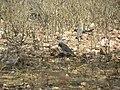 Pássaros - panoramio (1).jpg
