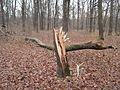 PP Černý orel, rozlomený strom.jpg