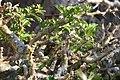 Pachypodium lealii saundersii 6zz.jpg
