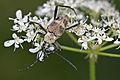 Pachyta quadrimaculata 2013.jpg