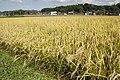 Paddy field in Kasama, Ibaraki 03.jpg