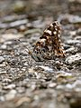 Painted Lady (36550672855).jpg
