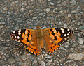 Painted Lady Vanessa cardui at Samsing, Duars, West Bengal W IMG 6292.jpg