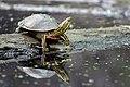 Painted Turtle (17709356020).jpg