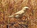 Pale rockfinch (ഇളം പാറക്കുരുവി ) - 10.jpg