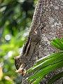 Palm Squirrel (Funambulus Palmarum).jpg