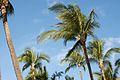 Palm Trees (4258306057).jpg