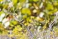 Palm warbler (18998157250).jpg