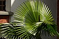 Palma washingtonia (Washingtonia robusta) (14405054411).jpg