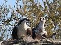 Pandion haliaetus (Osprey) photograph 03.jpg