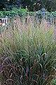 Panicum virgatum 'Apache rose' IMG 8666.jpg
