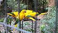 Papagaoi verde e amarelo, Parque das Aves, Foz do Iguaçú, Brasil.JPG