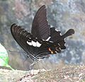 Papilio helenus Linnaeus, 1758 – Red Helen at Kottiyoor Wildlife Sanctuary (2).jpg
