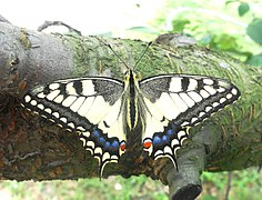 Papilio machaon.1.jpg