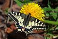 Papilio machaon (Le grand porte-queue) Famille des Papilionidae,.jpg