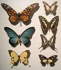 Papilionidae - Oslo Zoological Museum - IMG 9085T.jpg