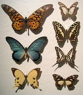 Some species of the Papilionidae, including Birdwings and Swallowtails