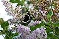 Papillon amiral.jpg